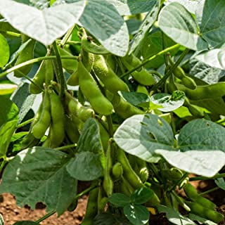 BeSweet 2001 Edamame Bean Seeds - 4 Oz - Non-GMO, Heirloom Be Sweet Soybean Seeds - Soy Vegetable Garden Seeds