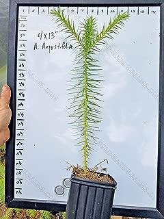 Araucaria Angustifolia Brazilian Monkey Puzzle Tree Large 3+ Year Old 1 Gallon