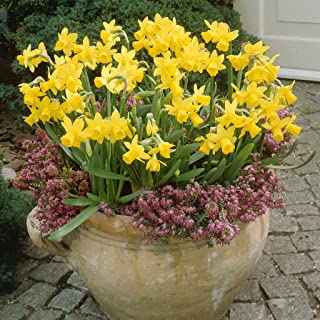 Van Zyverden Daffodils Tete A Tete For Containers Set of 25 Bulbs