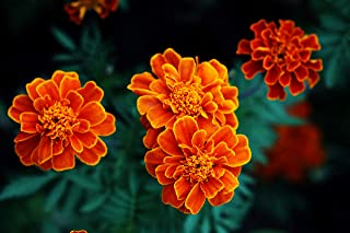 marigold french fireball
