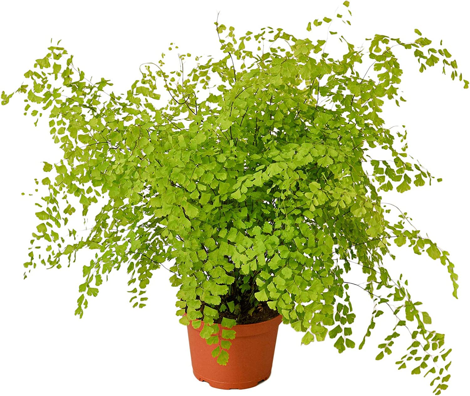 SmartMe Live Plant - Maidenhair Large-scale sale Fern Pot Indoo 6
