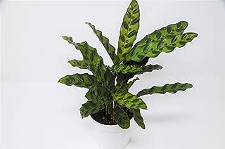 large calathea plant