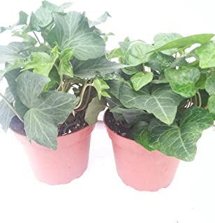 *Two Baltic English Ivy Plant Hardy Groundcover 4