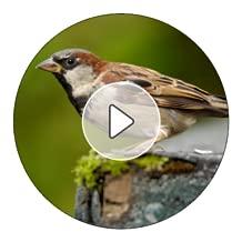 Sparrow Sounds and Ringtones
