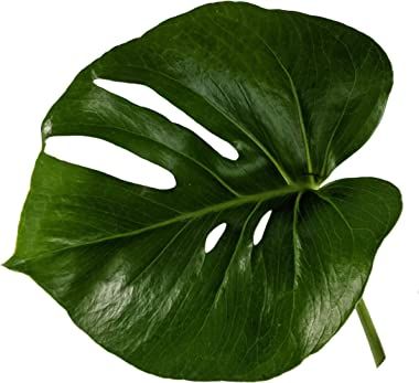 Generic, Monstera deliciosa (Philodendron Monstera, Swiss-Cheese Plant) Live Indoor House Plant, 6 inchPot