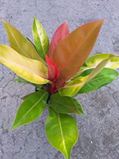 philodendron prince of orange plant