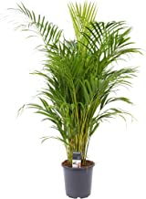 Dypsis lutescens | Areca-palm | Luchtzuiverende kamerplant | Hoogte 60-70cm | Pot- Ø12cm