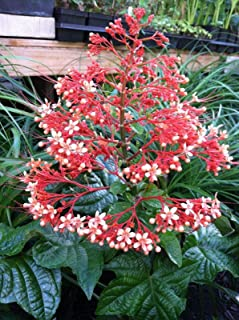 Pagoda - CLERODENDRUM - RED - Live Plant - 4