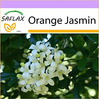 SAFLAX - Orange Jasmin - 12 Seeds - Murraya paniculata syn. Exotica