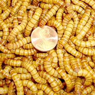 500ct Live Giant Mealworms, Reptile, Birds, Best Bait