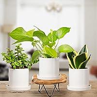 Plantmojo, Combo of Golden Money, Golden Snake & Jade Plant, in White Ceramic Pot with Saucer