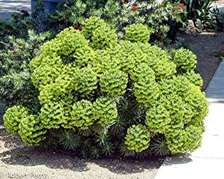 Euphorbia Wulfenii - 1 Pkt - 1 to 2 Feet Fall - Bigger Trunk - Ship in 3 Gal Pot - (BB)
