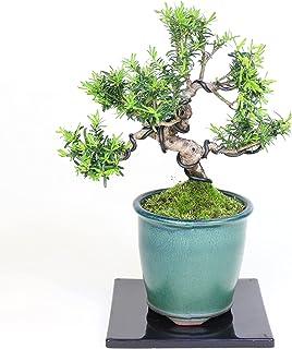 清香園 細かい葉が魅力的な一位の盆栽