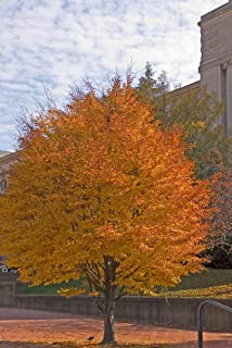 Fern Leaf Beech - Fagus sylvatica 'Asplenifolia' - 2 Year Live Tree