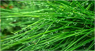 Best mexican weeping pine tree Reviews