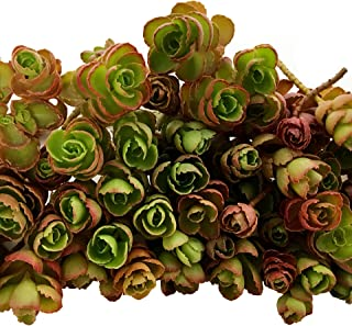 Cal Summer Garden 50+ Sedum Dragon's Blood Unrooted Cuttings Spurium Stonecrop Ground Cover Succulents