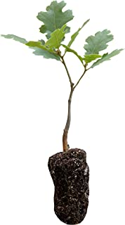California Black Oak | Live Tree Seedling (Medium) | The Jonsteen Company