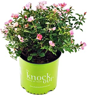 Best small rose like plant Reviews