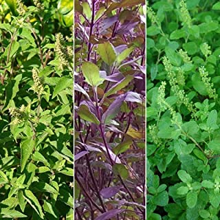 Holy Tulsi Basil 3 Pack Seed Collection - 3 Varieties of Holy Basil Seeds - Vana, Rama, Krishna - FROZEN SEED CAPSULES The...