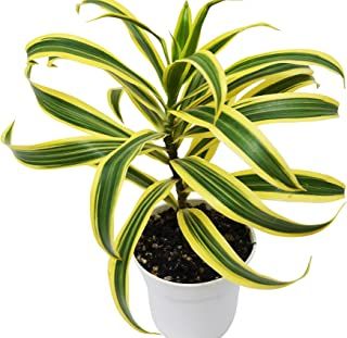Dracaena 'Song of India' - Live Plant - FREE Care Guide - 4