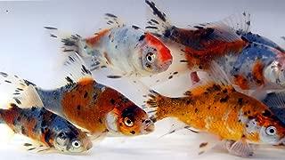 Toledo Goldfish Live Shubunkin Goldfish for Aquarium, Tank, or Garden Pond – Live Shubunkin Goldfish - Born and Raised in The USA - Live Arrival Guarantee