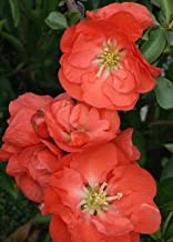 AchmadAnam - Double Take Chaenomeles Orange Storm PPAF - Flowering Quince - Proven Winners