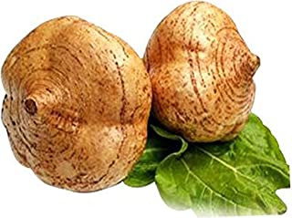Jicama/Yam Bean Seeds 15g(100PCS) Garden Vegetable Herb Organic Greens Fresh Fruit Chinese Seeds for Planting Outside Door Used Like a Potato Sweet Tasty Salads and Cooking Dish (Yam Bean Seeds)