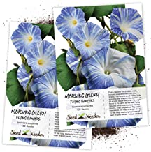 Seed Needs, Flying Saucers Morning Glory (Ipomoea Tricolor) Twin Pack of 100 Seeds Each Untreated