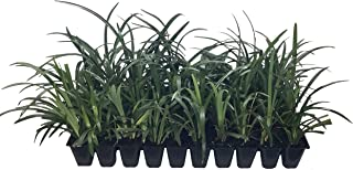 Super Blue Liriope Qty 40 Live Plants Ground Cover