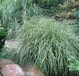 SmartMe Live Plant - 18 Miscanthus sinensis Little Zebra ' - Live Plant Grasses - Grass Plant