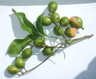 5 Spanish lime Seeds,Guinep,melicoccus bijugatus,Tropical fruit.