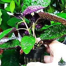 Greenpro Hemigraphis Colorata Exotica Purple Live Aquatic Potted Plant for Aquarium Freshwater Fish Tank