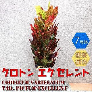 クロトン エクセレント 観葉植物 中型 7号プラスチック鉢(鉢底からの高さ:約100cm/葉張り:約40cm)【品種で選べる人気の観葉植物・リビングやオフィス向きサイズ/1個】学名:Codiaeum variegatum var. pictum 'Excellent' トウダイグサ科/コディアエウム属/原生地:マレー半島から太平洋諸島●日当りに注意すれば、初心者にも丈夫で育てやすい観葉植物で葉色の鮮やかさで人気です。南アジア・オセアニア地域に分布する低木の常緑樹です。葉には、赤や黄、オレンジといった色鮮やかな模様が入り見た目も鮮やかなので人気があります。クロトンは変異種がとても多く、品種改良もとても盛んに行われています。【造花ではありません。生きている観葉植物です。大型ですのでギフトラッピングには対応しておりません。※出荷タイミングにより、鉢の形や鉢色が変わる場合があります。商品の特性上、背丈・形・大きさ等、植物には個体差がありますが、同規格のものを送らせて頂いております。また、植物ですので多少の枯れ込みやキズ等がある場合もございます。予めご了承下さい】【即出荷/プライム送料込み価格】