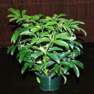 Best schefflera plant for sale Reviews