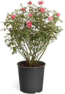 Best double red knockout rose bush Reviews