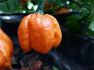 Scotch Bonnet Freeport Orange Pepper seeds