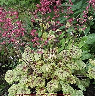 Heuchera Circus Yellow red Vein villosa Coral Bells 3
