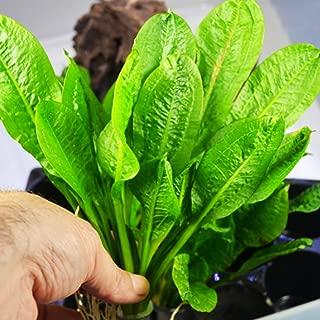 Mainam Echinodorus Parviflorus Rosette Amazon Sword Live Aquarium Plant Rooted Bundle for Freshwater Aquatic Tank Decorations