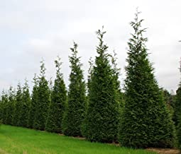 Thuja Green Giant Arborvitae Qty 5 Live Trees Evergreen Privacy - 2