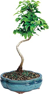 Brussel's Live Ginkgo Outdoor Bonsai Tree - 5 Years Old; 10