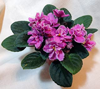 jolly african violets