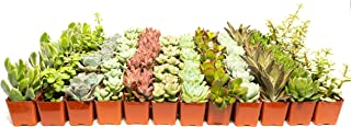 Succulent Assorted Pack- Perfect for Weddings, Party Favors, Home Gardens, and Social Events by Jiimz (128 Pack)