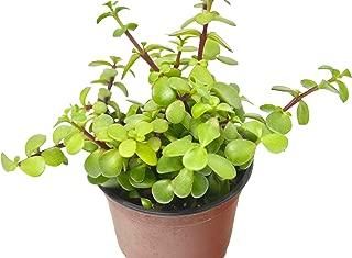 'Elephant Bush' Succulent/4
