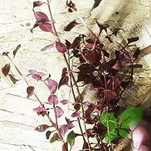 Planterest - Ludwigia Repens Super Red Mini Leaves Live Aquarium Plant Stems BUY2GET1FREE