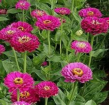 Outsidepride Zinnia Elegans Dahlia Purple - 1000 Seeds