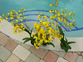 Orchid Oncidium Dancing Lady Blooming Size Mad Happenings Sale