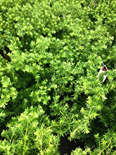 Dense Spreading Yew (Taxus x media 'Densiformis')