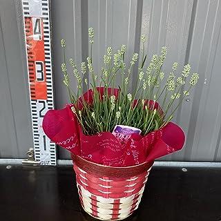 鉢植え イングリッシュラベンダー(アロマンスホワイト) 春分ほぼ咲き終わり