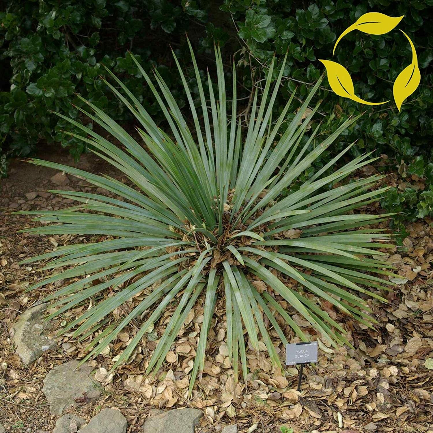 NP - SOAP Weed Yucca Spasm price Glauca Decoratio Seeds Flower Bombing new work 25+ OMS