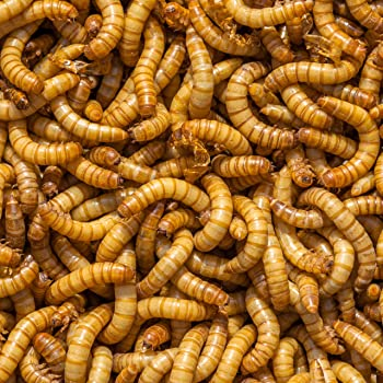 DBDPet Organically Grown Bulk Premium 1,500ct Live Mealworms - Great Food for Leopard Geckos, Chameleons, Geckos, Wild and Pet Birds, Blue Birds, Chickens - Includes Caresheet